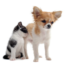 image of cat dog  - portrait of a cute purebred puppy chihuahua and kitten in front of white background - JPG