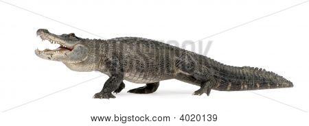 amerikanische alligator