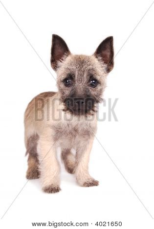 Cairn Puppy Standing