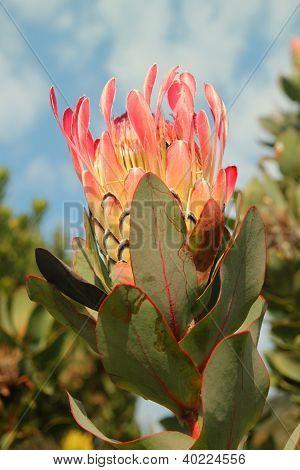 Protea at Kirstenbosch National Botanical Garden, Cape Town, South Africa