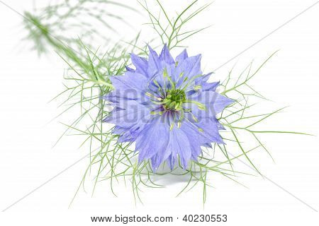 Single nigella damascena flower on white background