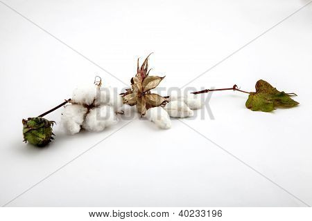 Cotton plant closeup in studio