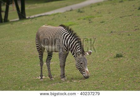 gr�vy zebra