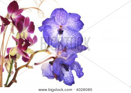 Blue Vanda Orchid On White