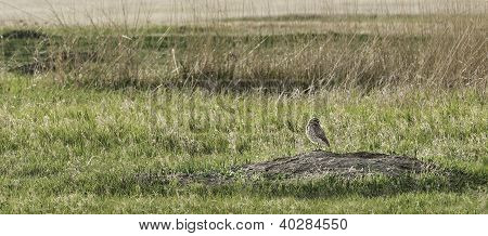 Burrowing Owl (Speotyto cunicularia) Stands On Its Burrow