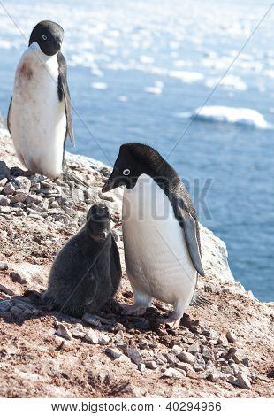 Adelie Penguins In The Family Nest.