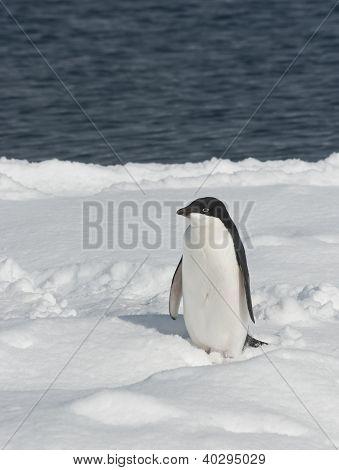 Young Adelie Penguin In Open Water.