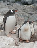 Gentoo Penguin Family In The Nest In The Cliffs.