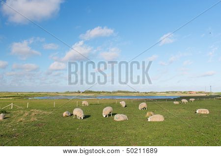 protected bird lake on Dutch wadden island Texel with many sheep