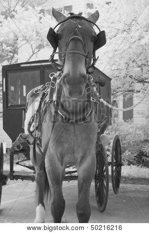 Black and White Amish Buggy Horse