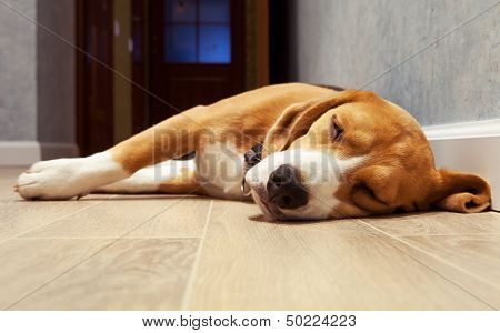 Slleeping Beagle Dog On The Wood Floor