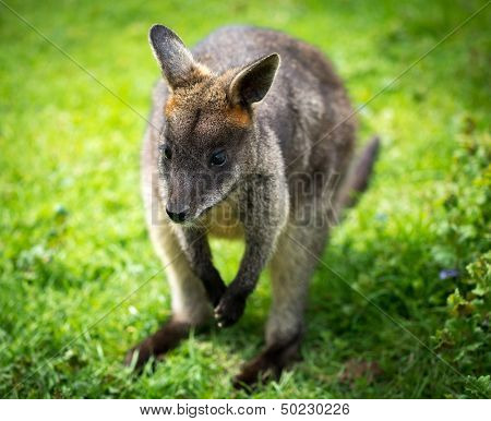 Beautiful agile wallaby