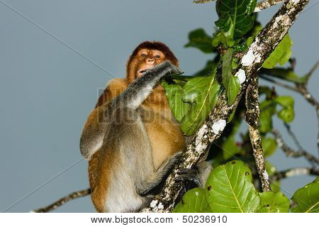 Proboscis Monkey Eating A Leaf On A Dark, Stormy Afternoon In The Rain Forest