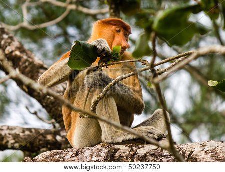 Proboscis Monkey Feeding On A Leaf