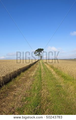 Wheat And Farm Track