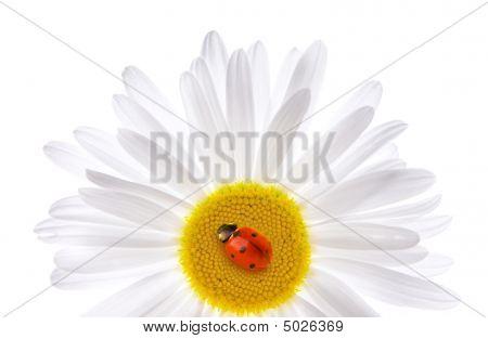 Ladybug Sitting On A Beautiful Daisy. Isolated On White Background