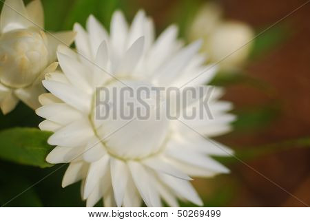 White Helichrysum Paper Daisy Strawflower Flower