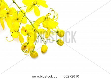 Golden Shower(cassia Fistula) Isolate On White Background