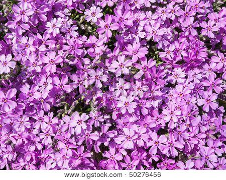 Purple Phlox Flower