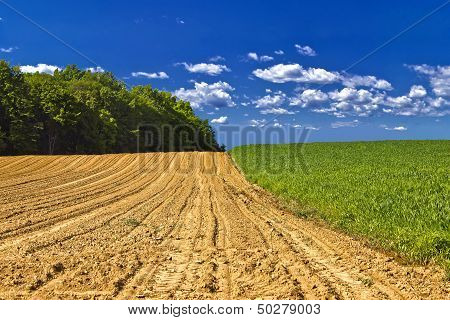 Agricultural Landscape - Young Corn Field
