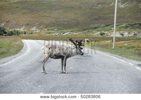Male Elk Crossing Road
