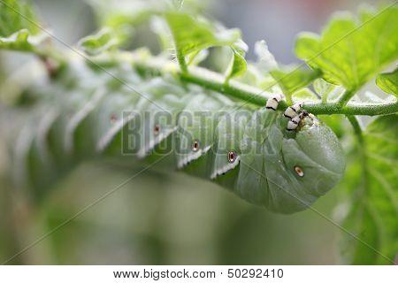 tomato worm on plant