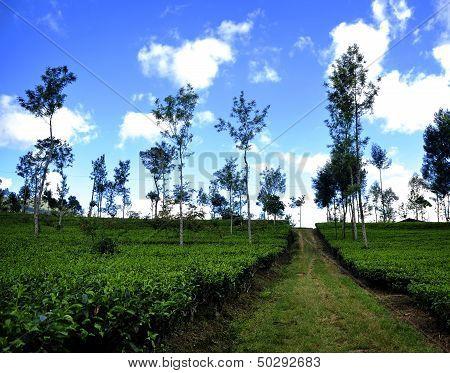 Tea Plantation in Java, Indonesia