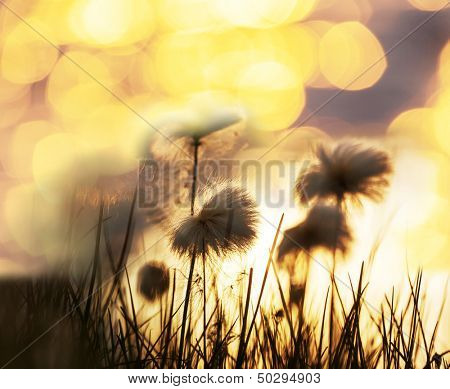 arctic cotton flowers
