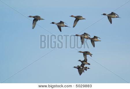 Flying Pintail Ducks