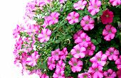 pic of petunia  - Many pink petunia flowers on a white background