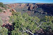Juniper On Rim Of Colorado National Monument