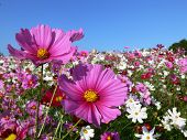 foto of cosmos flowers  - Field of brightly colored cosmos flowers on a sunny day - JPG