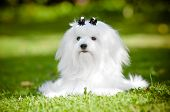 image of maltese  - beautiful white maltese breed dog outdoors in summer - JPG