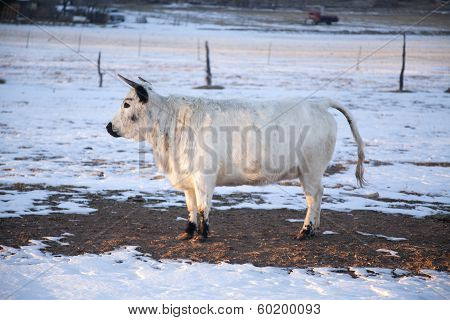 Cow With Horns Stand In Snow Head Up