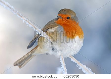 Christmas Robin In Winter