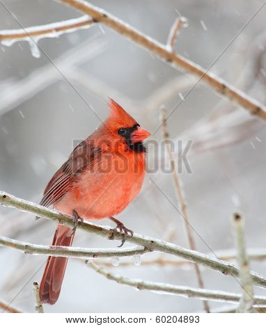 Northern Cardinal On Icy Branch