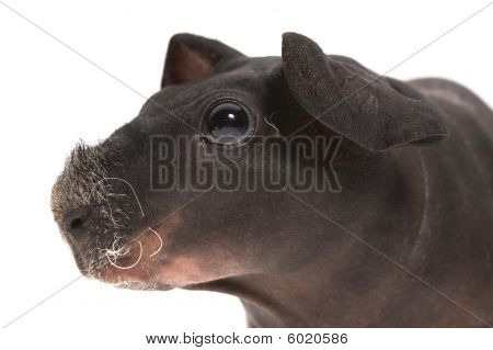 Skinny Guinea Pig And Red Apple On White Background