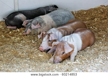 Piglets Of Different Breeds