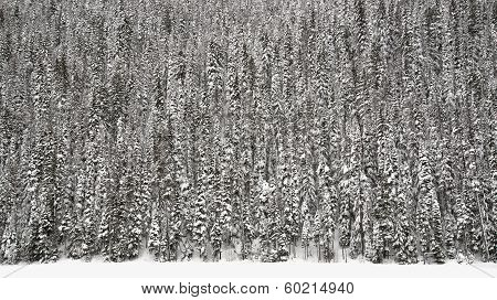 Wall Of Trees Covered In Snow
