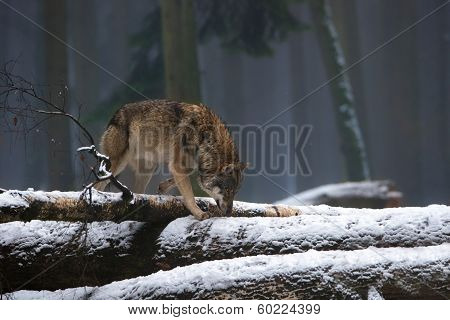 Lonesome Wolf In Misty Winter Forest