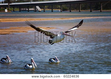 Australian Pelican flies over other Pelicans