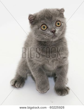 Small Blue Kitten Scottish Fold Frightened Backtracking