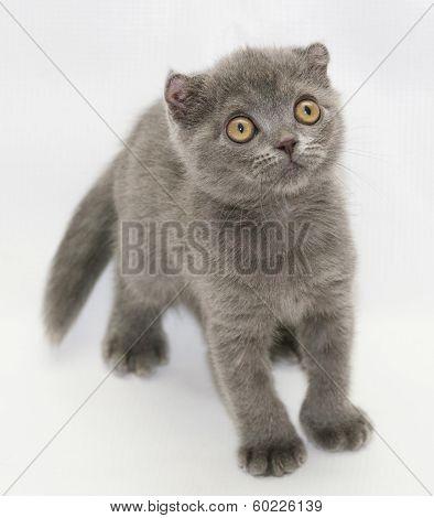 Small Blue Kitten Scottish Fold Worth Looking Away