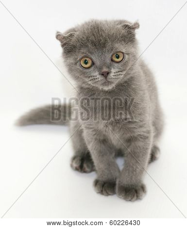 Small Blue Kitten Scottish Fold Sitting Squinting Suspiciously