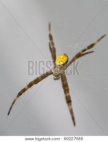 Hawaiian Garden Spider