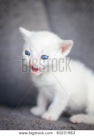angry white kitten growling