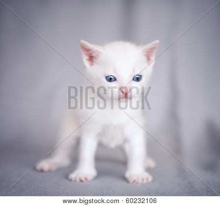 adorable white kitten over gray background