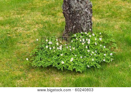 Wood Anemone Flowering At A Treetrunk