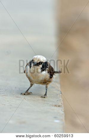 White-rumped Helmet-shrike