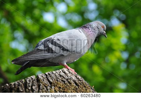 Pigeon portrait in a park